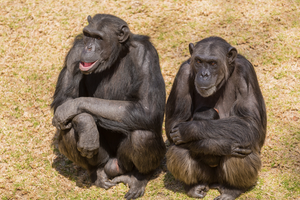 Male adult chimps sitting next to a female chim carrying its baby
